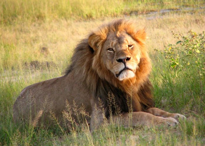 Cecil_the_lion_at_Hwange_National_Park_(4516560206).jpeg